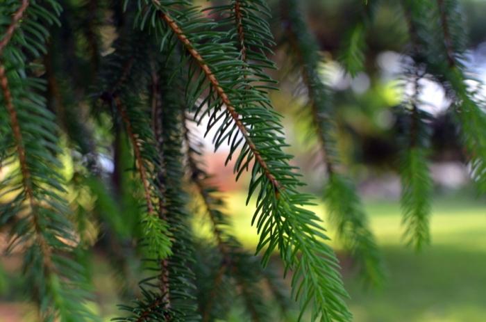 pine boughs2
